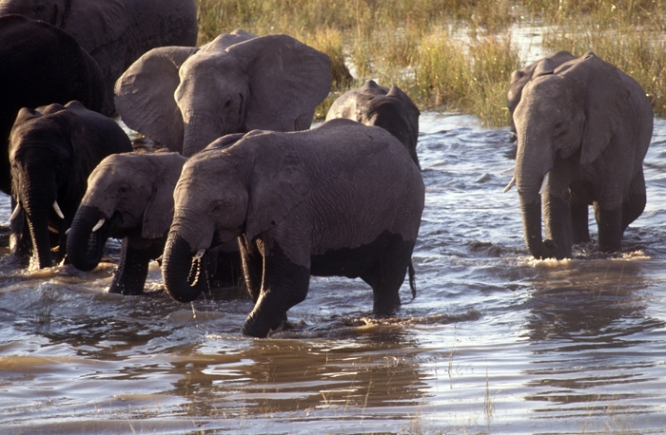 Elephants enjoying Chobe River
