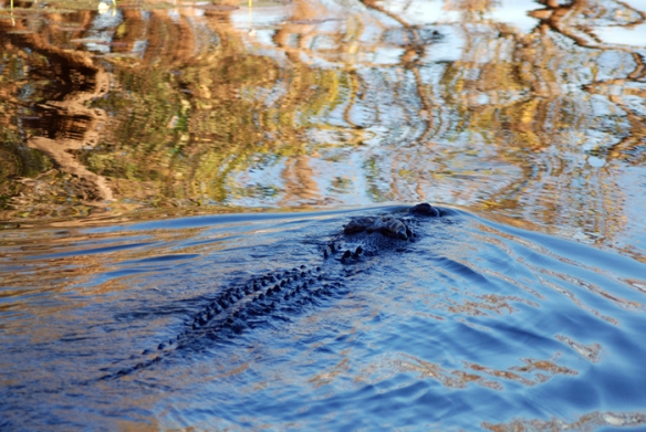 Saltwater crocodile creates ripples as it glides through the water