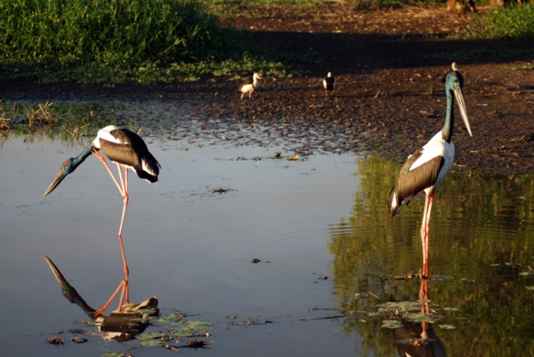Jabiru, also known as Black-necked Storks