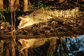 Salt-water crocodile, Northern Territory, Australia