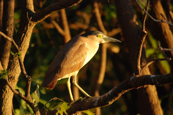 Nankeen Night Heron, also known as Rufous Night Heron