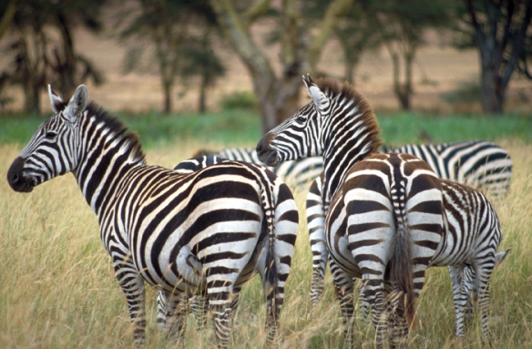 Zebras in the Serengeti, Tanzania