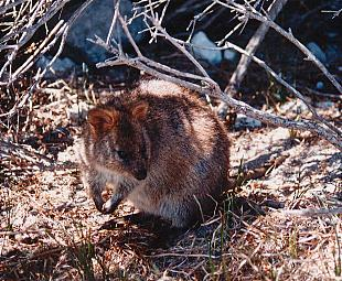 The quokka is a tiny marsupial, generally only found on Rottnest Island.
