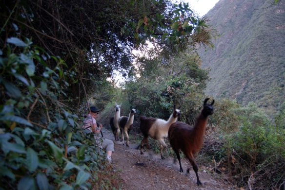 Llamas hurtling down the trail