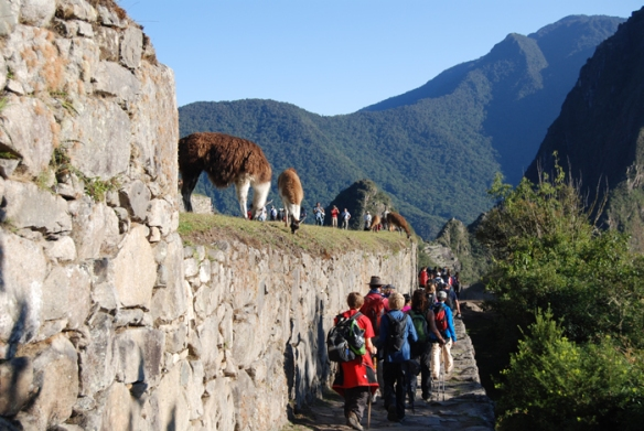 Llamas feeding, oblivious to the trekkers arriving at Machu Picchu.