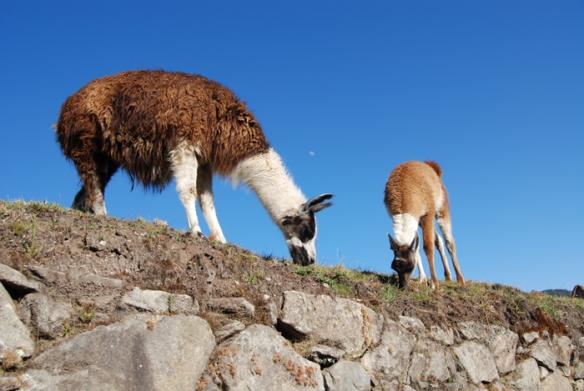 Llamas at Machu Picchu.