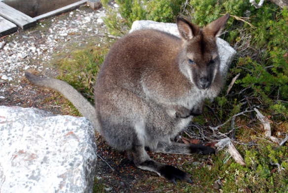 Bennett's Wallaby at Cradle Mountain