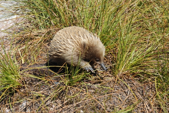Echidna at Cradle Mountain