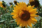 Sunflower, France