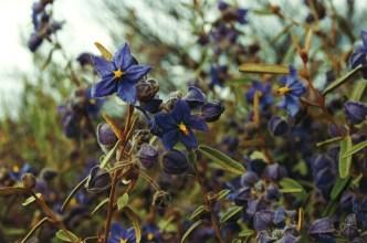Wildflowers - Western Australia