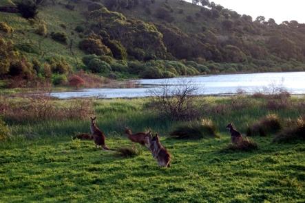 Kangaroos at Tower Hill