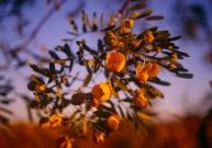 Wildflowers, The Pilbara, Western Australia
