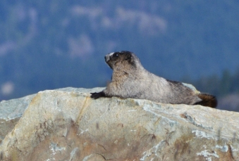 A marmot on Blackcomb Mountain