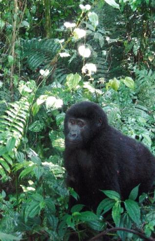 Crouching next to a mountain gorilla in Uganda