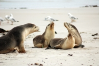 Getting close to sea-lions on Kangaroo Island