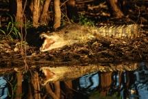 Seeing a salt-water crocodile