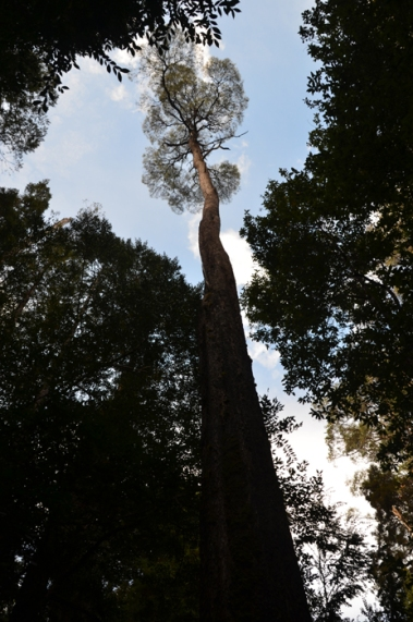 Canopy on Huon Pine Walk