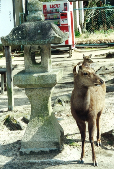 Deer on Mijajima