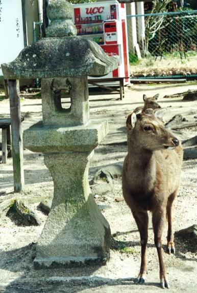 Deer on Mijajima