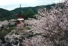 Cherry blossoms on Mijajima