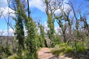 Burnt vegetation springs back to life after bushfires
