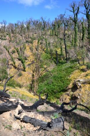 Vegetation regenerating after bushfires