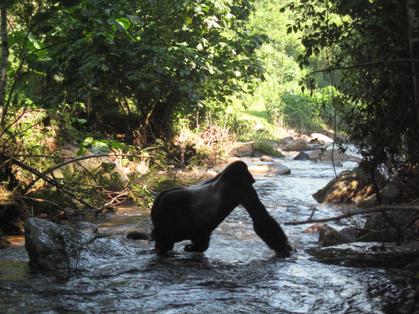 I was also quite happy with this photograph of the silverback crossing a river, because you really can see the silver hair on his back.